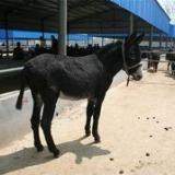供应甘肃肉驴价格,纯种肉驴养殖,肉驴的市场行情肉驴的药用价值