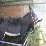 供应邯郸肉驴养殖场肉驴的养殖技术肉驴市场行情肉驴加工