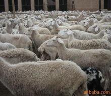 供应 咸阳杜柏绵羊哪里卖杜泊绵羊养殖技术杜泊绵羊羊舍建设批发