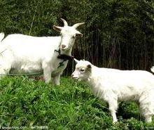 供应烟台白山羊养殖技术,如何养殖白山羊效益好,白山羊好养吗批发