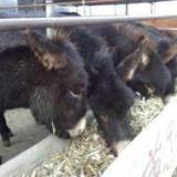 供应 山西肉驴价格肉驴利润分析肉驴养殖技术视频