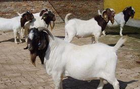 供应武汉波尔山羊价格波尔山羊养殖场在哪里纯种小羊苗