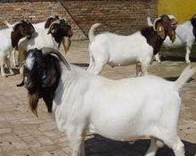 供应陕西榆林杜柏绵羊哪里卖,杜泊绵羊的养殖技术,杜泊绵羊的养殖成本 陕西榆林杜柏绵羊哪里卖批发批发