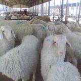 供应潍坊小尾寒羊种羊价格,如何养殖小尾寒羊见效快,今年的市场行情怎么样