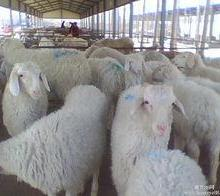 供应潍坊小尾寒羊种羊价格,如何养殖小尾寒羊见效快,今年的市场行情怎么样批发