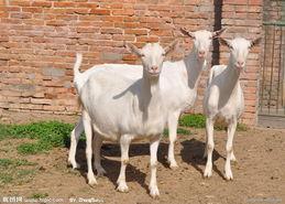 供应重庆大型肉羊养殖场肉羊的市场行情哪里最便宜