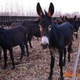 广西肉驴养殖加工肉驴养殖加盟肉驴市场行情