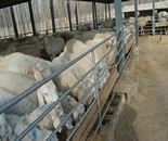 哪里可以买到波尔山羊崽图片