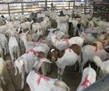 哪里可以买到小波尔山羊图片
