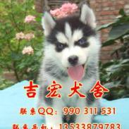 佛山哪里有卖哈士奇犬图片