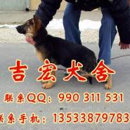 广州哪里有卖纯种德国牧羊犬有保障图片