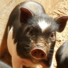 供应礼品猪肉高档猪肉