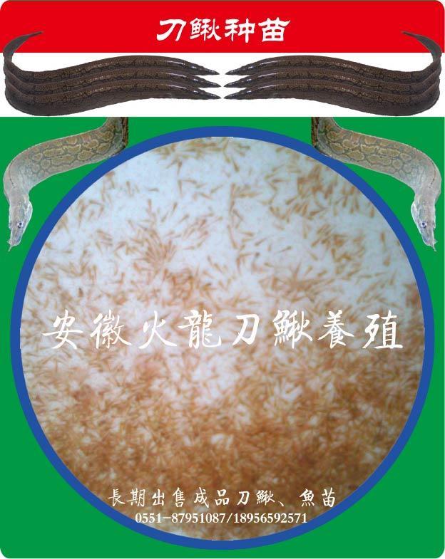 世界上最大的刺鳅图片大全 摘要 刺泥鳅,即大刺鳅.图片