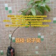 2公分荔枝3公分荔枝苗荔枝树图片