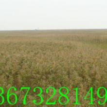 供应湖南芦苇苗