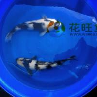 观赏鱼纯种日本锦鲤白写锦鲤鱼