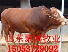 供应肉牛犊