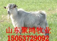 菏泽青山羊发展前景