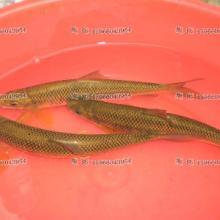供应泰山赤鳞鱼商品鱼批发