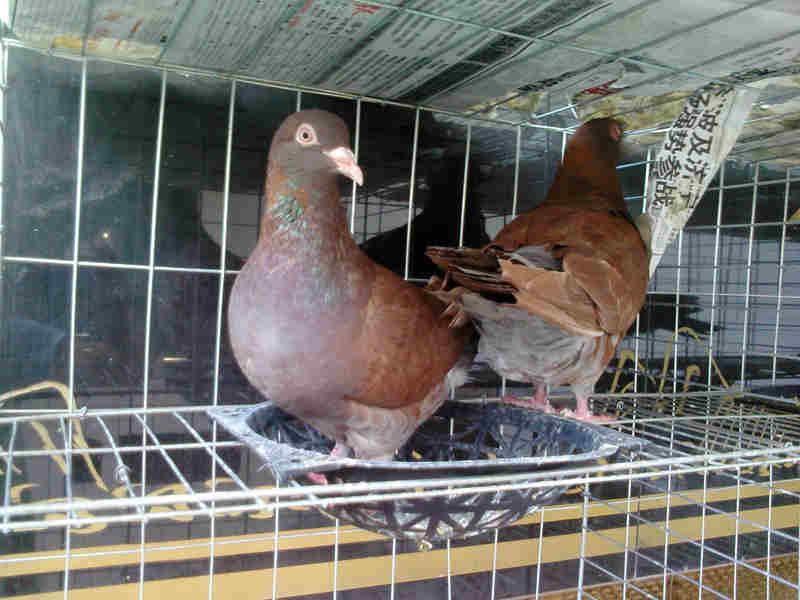 肉鸽 山东/肉鸽图片|肉鸽样板图|肉鸽/山东观赏鸽养殖
