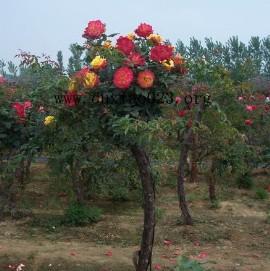 嫁接修剪整形等措施生产出来的一种新型月季类型品种-月季树嫁接图片