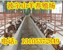 供应江苏无锡波尔山羊养殖场无锡哪里有波尔山羊养殖基地江苏无锡山批发