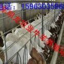 波尔山羊的效益分析图片