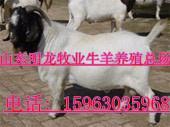 波尔山羊每天的饲料量是多少图片