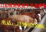 供应山东肉牛养殖成本批发