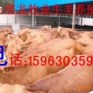 大量供养殖肉牛羊馿价格图片