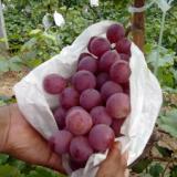 供应陕西红提葡萄批发,红提葡萄价格