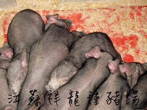 供应江苏四蹄白梅山母猪图片