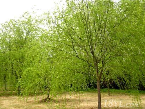 供应柳树栽培sd柳树价格