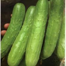 供应白色水果黄瓜种子-恒青