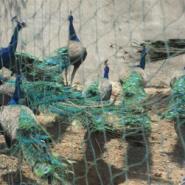 孔雀大雁黑天鹅白天鹅肉牛肉羊提供图片