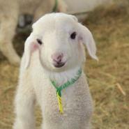 科学饲养波尔山羊羊羔的方法图片