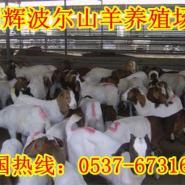 山西原平事波尔山羊养殖场图片