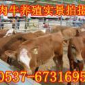 大牛犊的价格图片