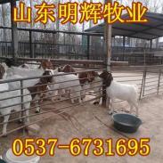 东台市波尔山羊养殖基地图片
