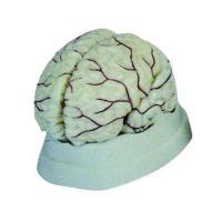 自然大脑解剖模型医学人脑展示