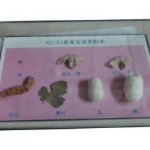 供应桑蚕生活史标本生物标本教学仪器实验器材批发