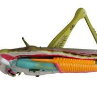 蝗虫解剖模型生物教学演示器材
