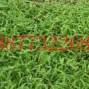 广西桂林楠竹苗图片