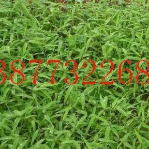 桂林楠竹苗图片