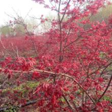 绿化乔木日本红枫