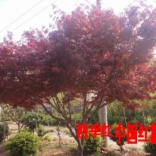 供应红枫 四季红 日本红枫