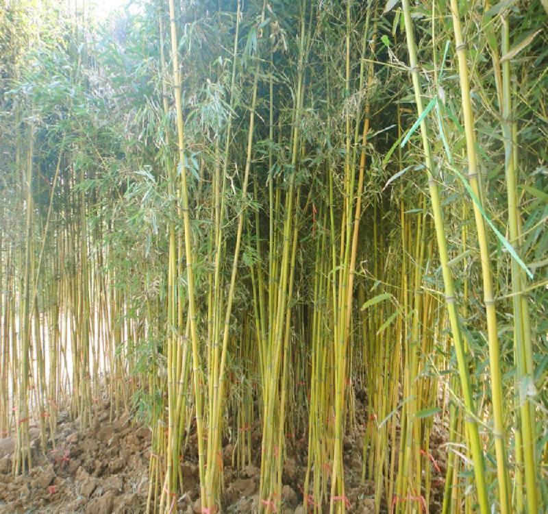供应黄金竹