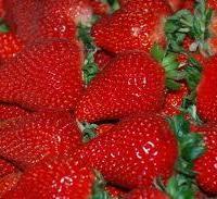 美香莎草莓苗种植草莓苗基地哪里卖