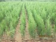 供应侧柏苗规格全侧柏苗质量高数量大批发