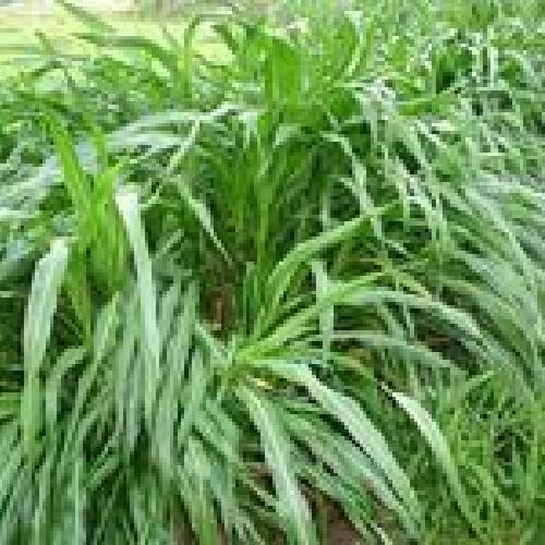 多年生黑麦草种子销售